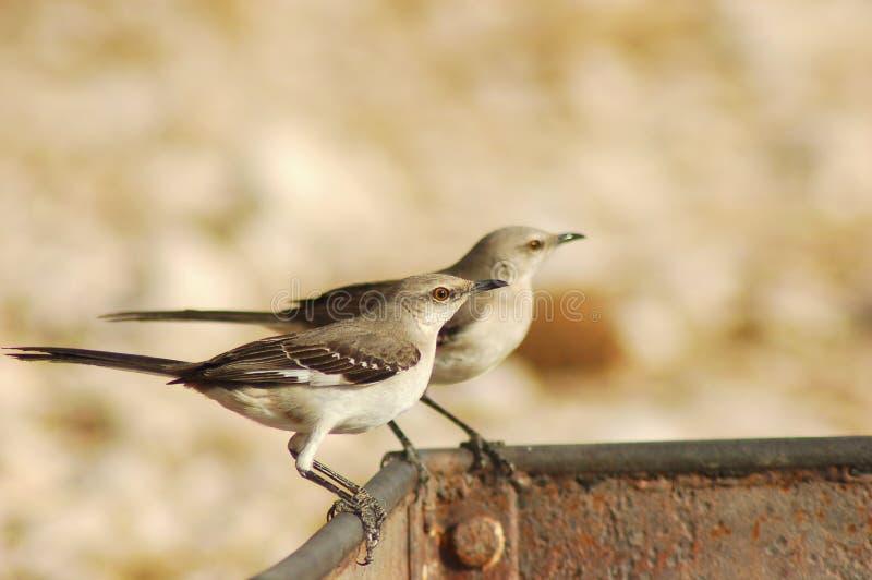 Pássaros de zombaria foto de stock
