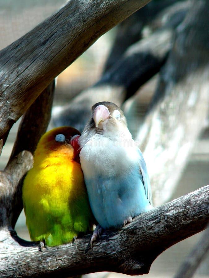Pássaros do amante, Maurícia fotos de stock