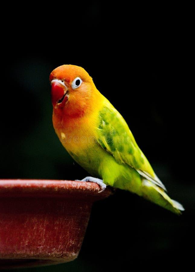 Pássaros do amor imagem de stock