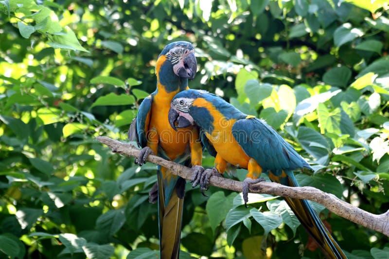 Pássaros do amor - Macaws imagem de stock