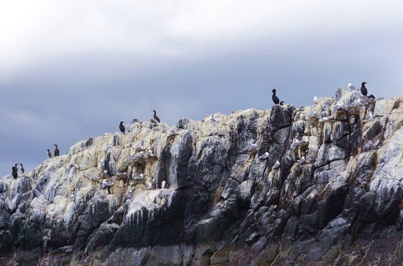 Pássaros do assentamento sobre um penhasco das ilhas de Farne, Northumberland, Inglaterra imagens de stock royalty free