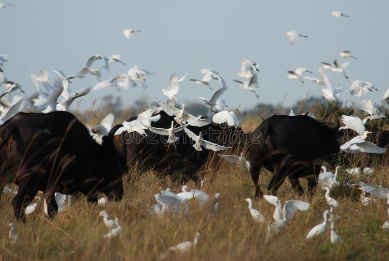 Pássaros do búfalo fotografia de stock