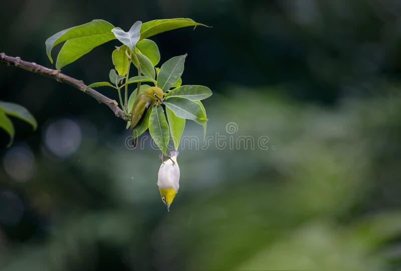 pássaros do Branco-olho que penduram no ramo de árvore
