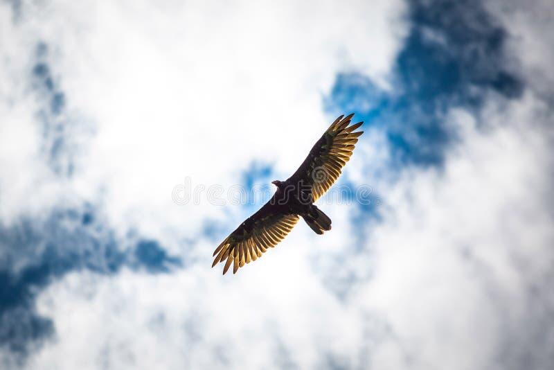 Pássaros do céu azul do abutre do voo da rapina imagens de stock
