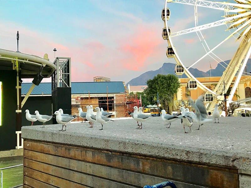 Pássaros do cabo em Cape Town imagem de stock royalty free
