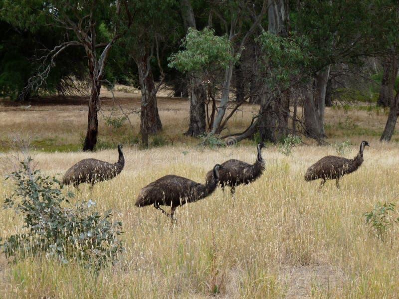Pássaros do Emu foto de stock royalty free