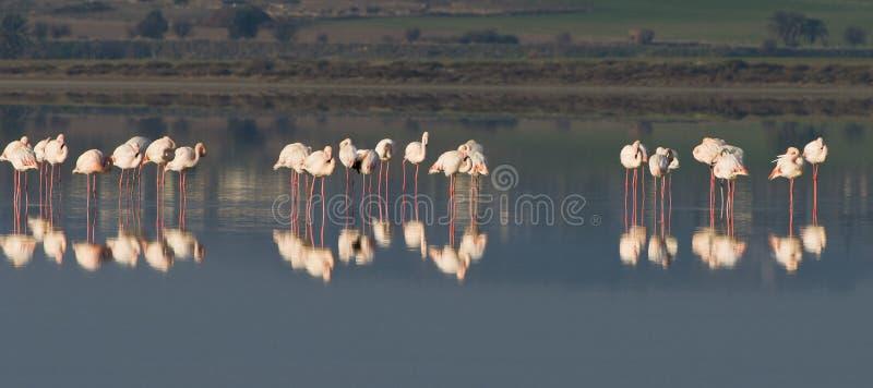 Pássaros do flamingo foto de stock royalty free