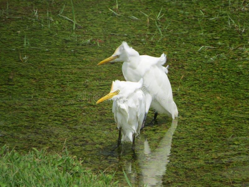 Pássaros do foreigen em Sri Lanka imagem de stock