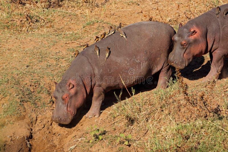 Pássaros do hipopótamo e do oxpecker, parque nacional de Kruger fotos de stock royalty free