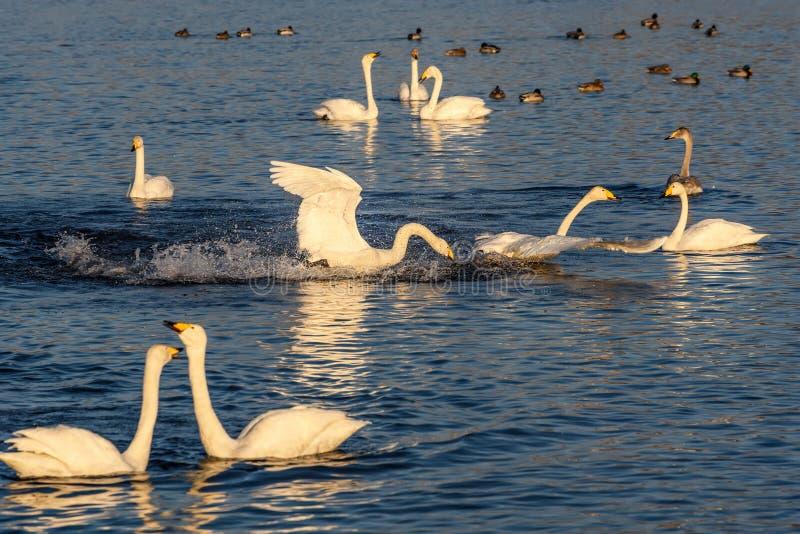 Pássaros do inverno da luta do lago swan fotografia de stock royalty free