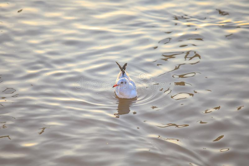 Pássaros do mar nadando no mar em Bang poo, Samutprakan, Tailândia fotografia de stock