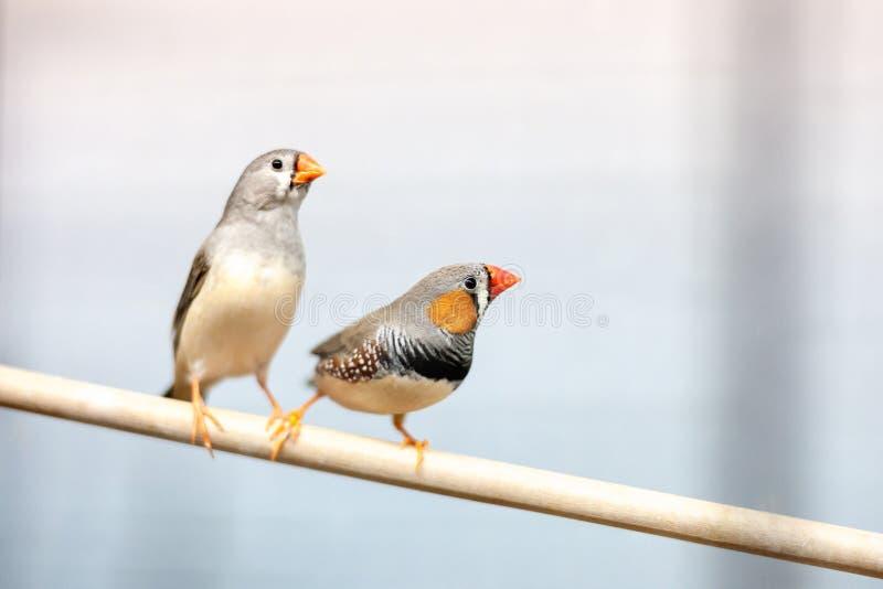 Pássaros do passarinho no ramo animais de estimação domésticos coloridos bonitos foto de stock royalty free