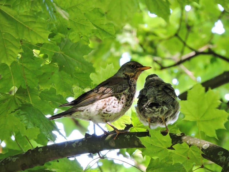 Pássaros do tordo no ramo de árvore fotos de stock royalty free