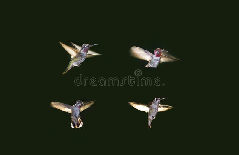 Pássaros do zumbido imagens de stock royalty free
