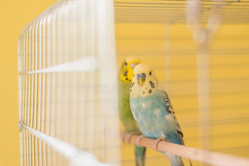 Pássaros dos pares do periquito australiano que sentam-se na gaiola na sala amarela foto de stock royalty free