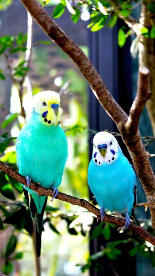 Pássaros dos periquitos azuis, brancos e amarelos em uma refeição matinal da árvore imagem de stock