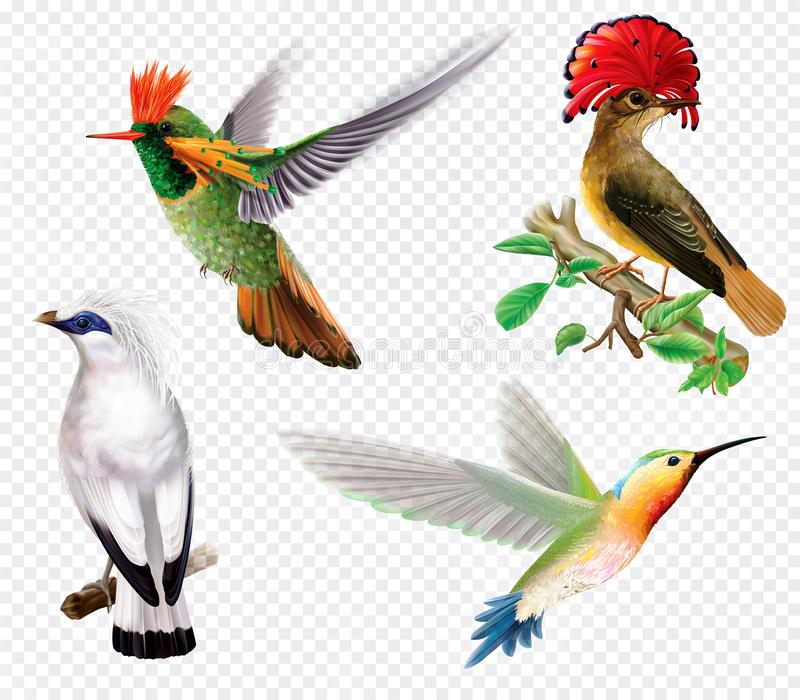 Pássaros e colibri tropicais em um fundo transparente ilustração do vetor