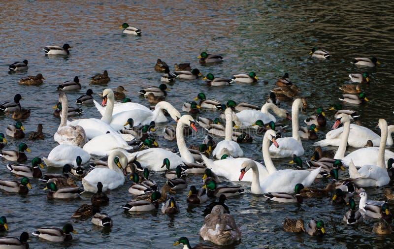 Pássaros e patos brancos da cisne em um lago imagens de stock royalty free