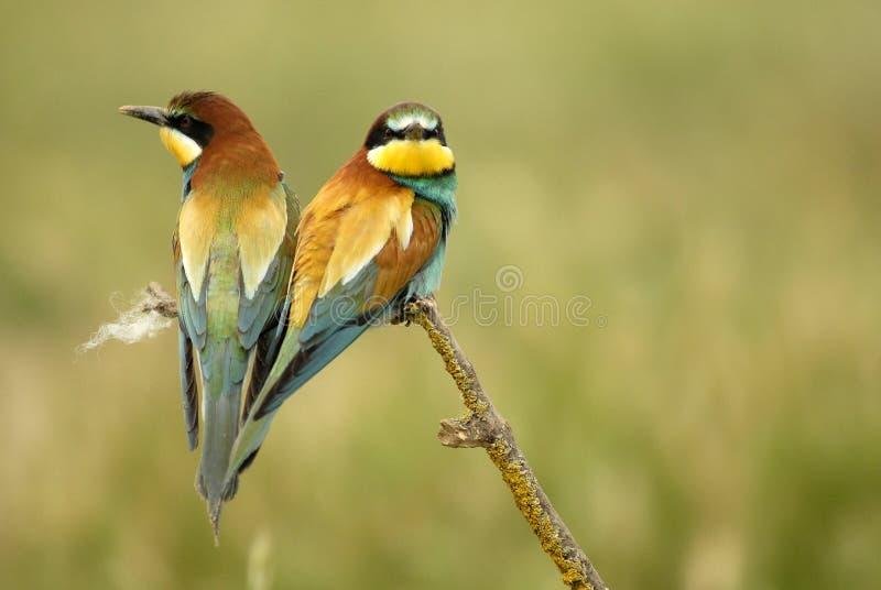 Pássaros em uma árvore do galho imagem de stock royalty free