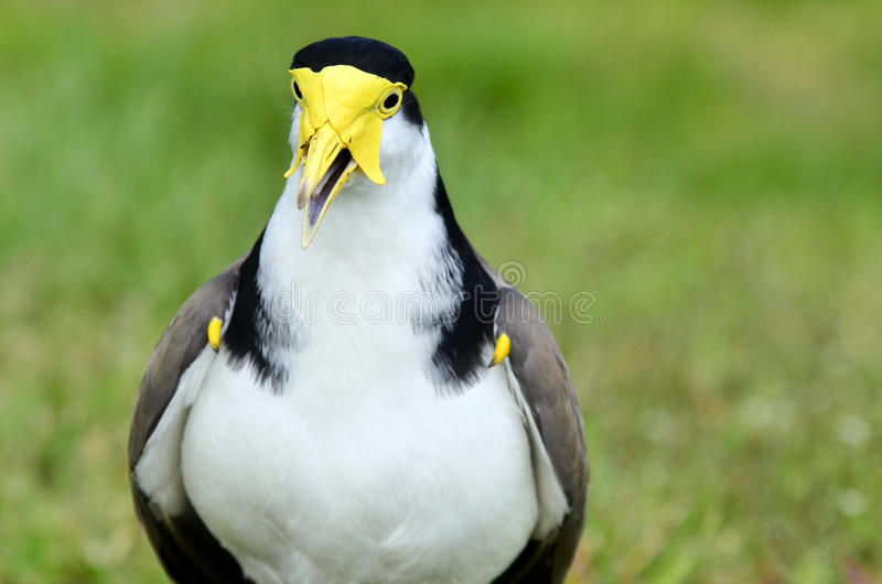 Pássaros - galispo mascarado fotografia de stock royalty free