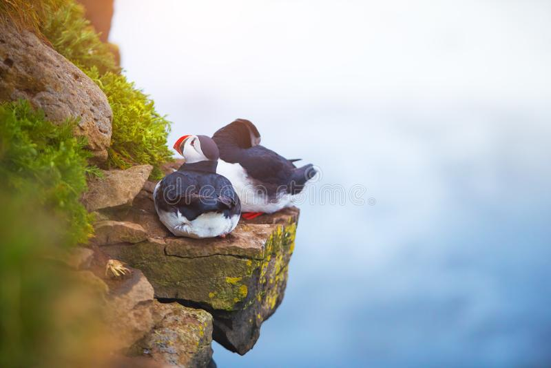 Pássaros icônicos bonitos do papagaio-do-mar, Islândia fotos de stock