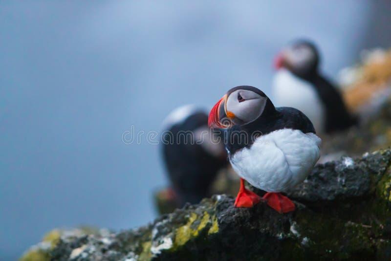 Pássaros icônicos bonitos do papagaio-do-mar, Islândia imagem de stock