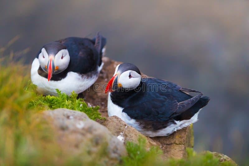 Pássaros icônicos bonitos do papagaio-do-mar, Islândia fotografia de stock