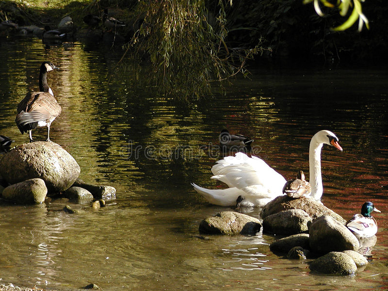Download Pássaros não de uma pena foto de stock. Imagem de gansos - 60334