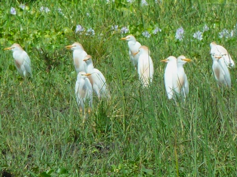 pássaros na pastagem no verão fotografia de stock