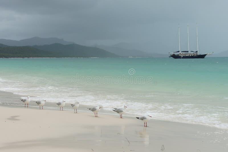 Pássaros na praia em Austrália fotografia de stock royalty free