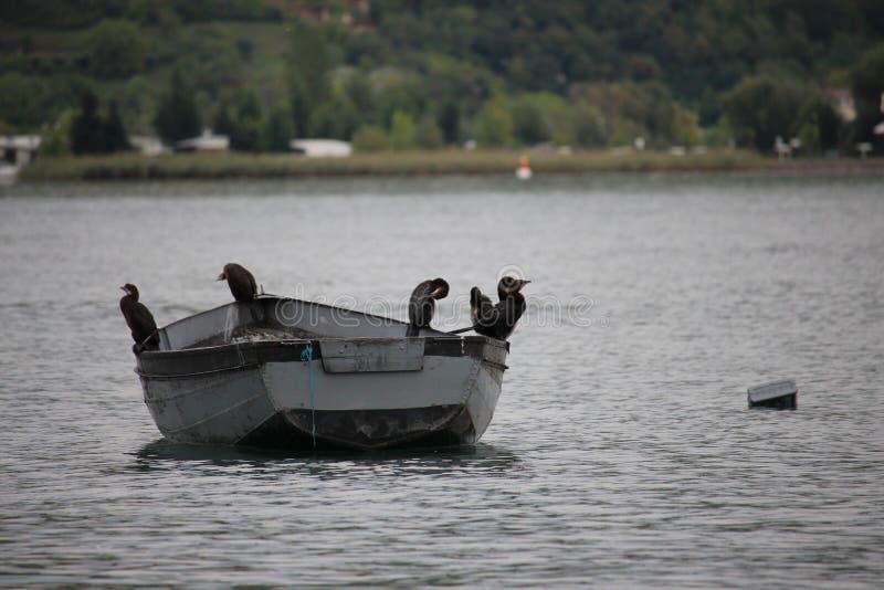 Pássaros no barco de enfileiramento no lago do ohrid fotos de stock