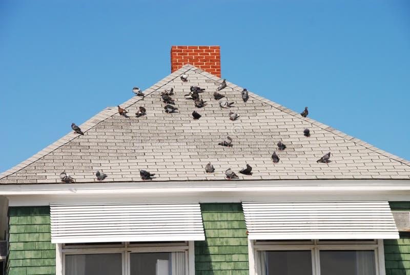 Pássaros no telhado imagens de stock royalty free