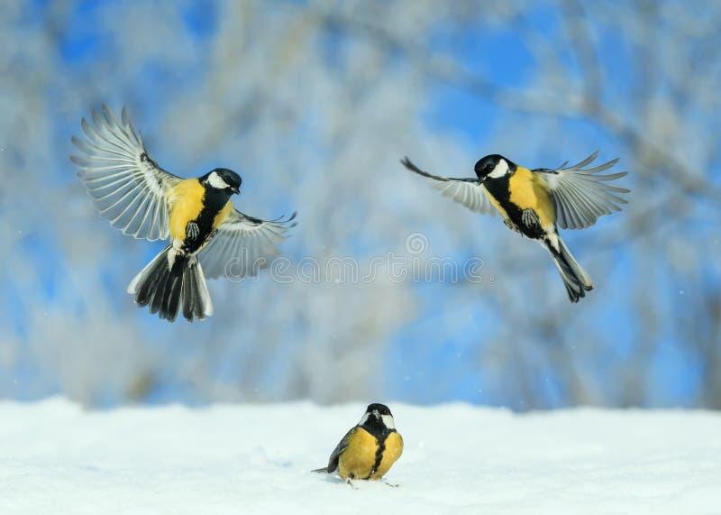 Pássaros pequenas marés voam e caminham sobre neve branca no inverno ano novo Park imagens de stock