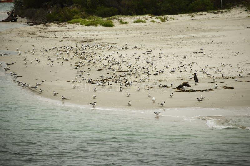 Pássaros pequenos aglomerados na praia em Sydney, Austrália foto de stock