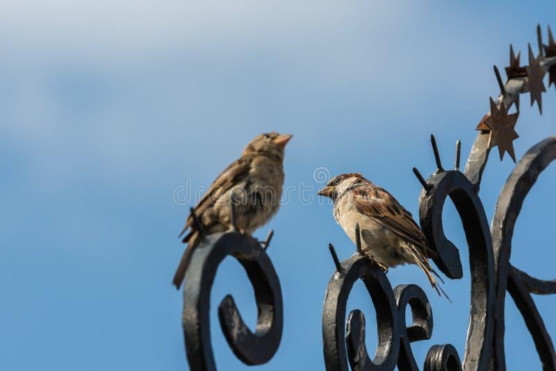Pássaros pequenos do pardal fotografia de stock
