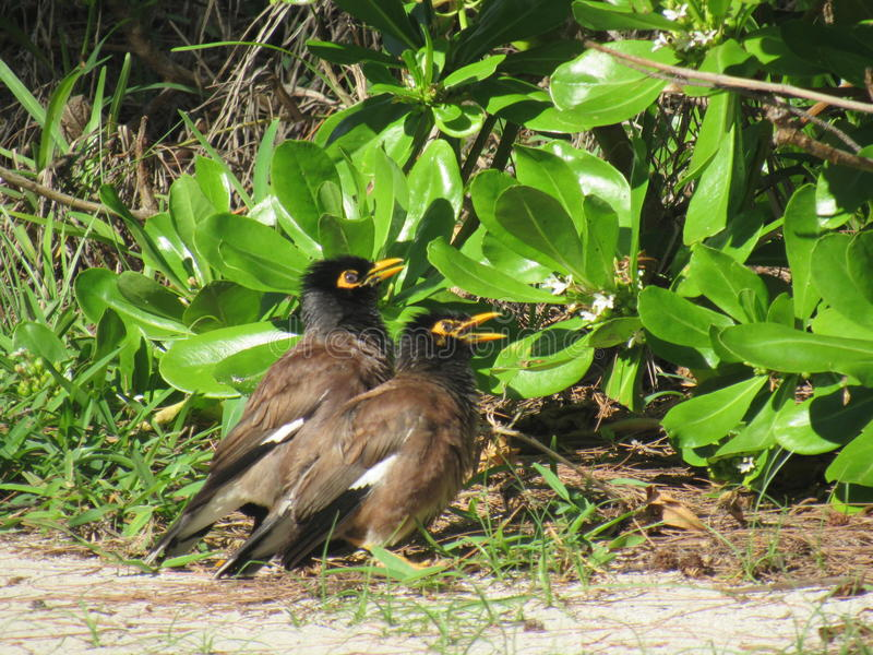 Pássaros pretos foto de stock