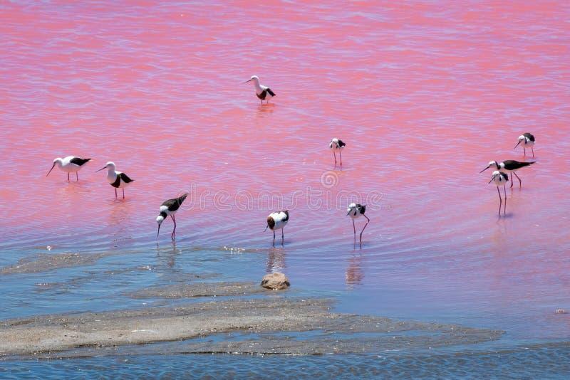 Pássaros pretos do pernas de pau da asa no lago cor-de-rosa na Austrália Ocidental imagens de stock royalty free