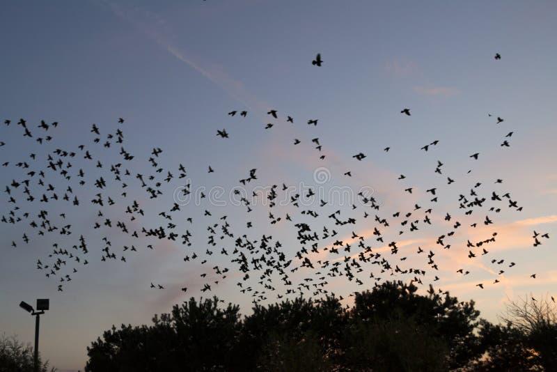 Pássaros pretos no céu do por do sol fotografia de stock royalty free