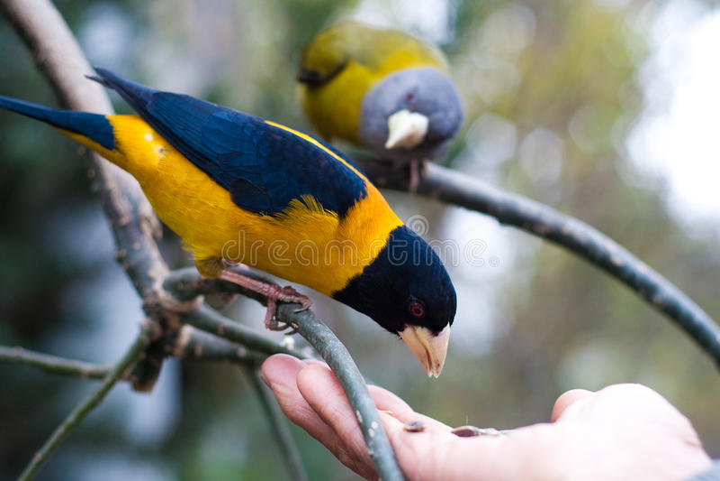 Pássaros que comem da palma imagens de stock royalty free
