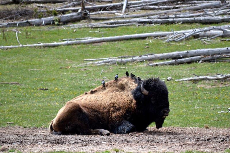 Pássaros que sentam-se em um bisonte americano, parque nacional de Yellowstone imagens de stock