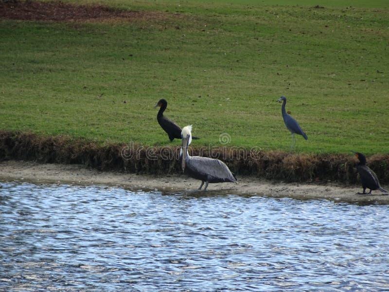 Pássaros que vadeiam nos pântanos dos marismas em Florida fotografia de stock