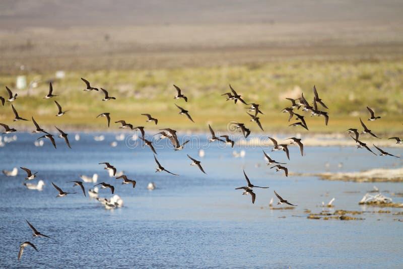 Pássaros que voam acima do lago foto de stock royalty free