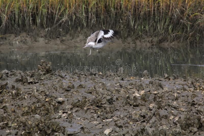 Pássaros que voam em Charleston South Carolina sobre o banco de ostra com fundo do pântano foto de stock
