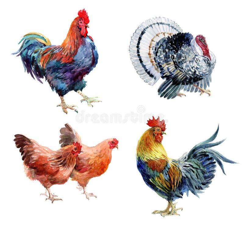 Pássaros realísticos da galinha, do galo, do galo e do peru da aquarela isolados foto de stock
