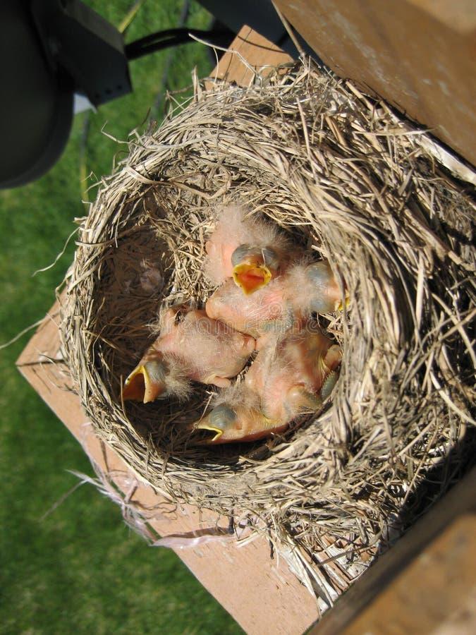 Pássaros recém-nascidos imagens de stock royalty free