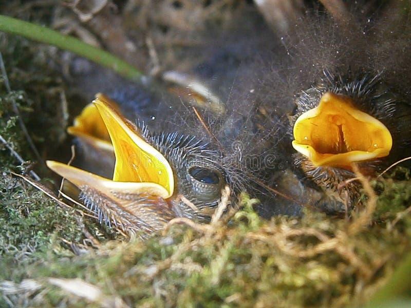 Pássaros recém-nascidos imagem de stock royalty free