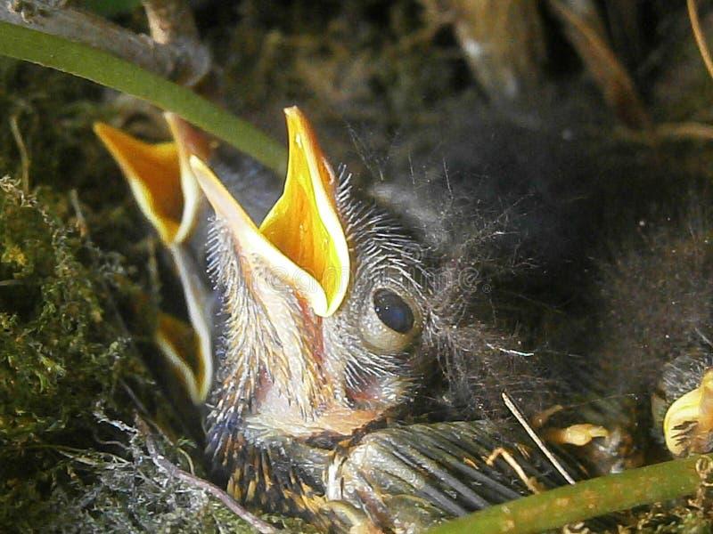 Pássaros recém-nascidos fotos de stock royalty free