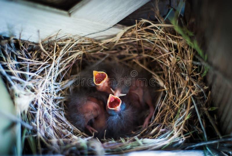 Pássaros recém-nascidos no ninho imagem de stock royalty free