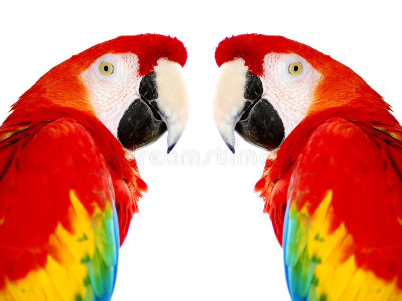 Pássaros vermelhos dourados do papagaio do Macaw fotos de stock royalty free