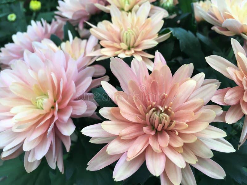 Pâle - chrysanthèmes roses sur le marché de fleur image stock